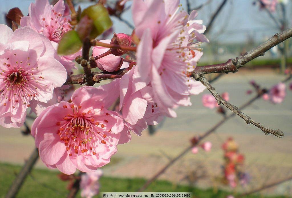 桃花 画 树枝 自然景观 山水风景 摄影图库