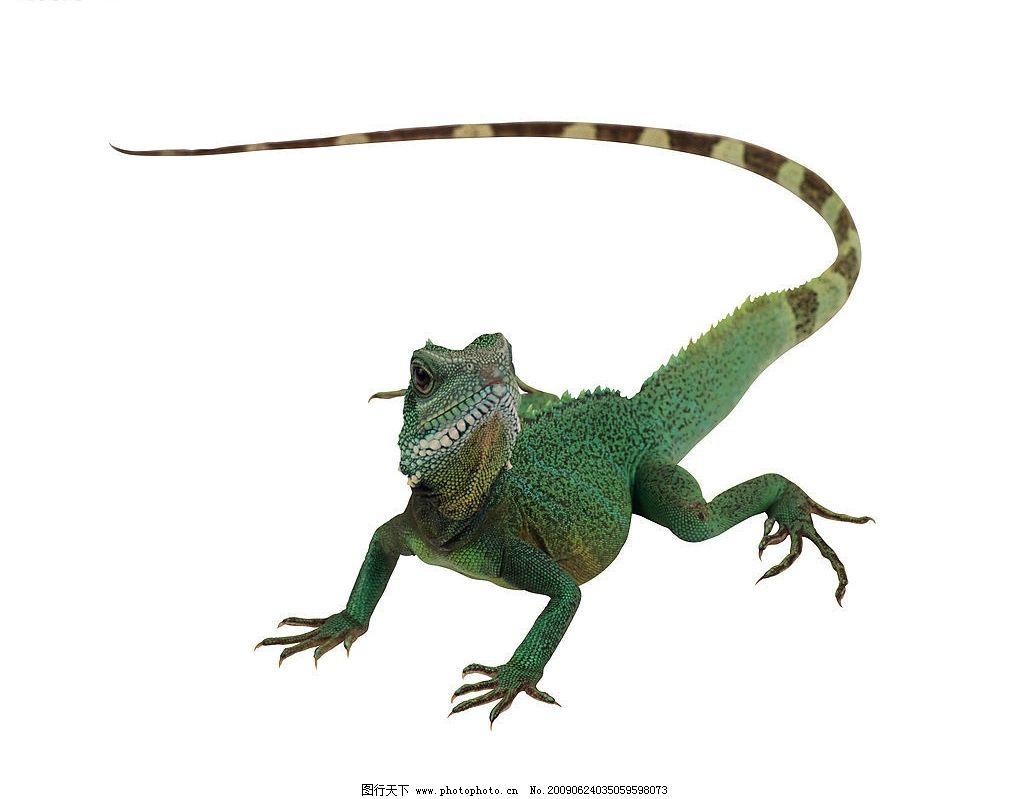 变色龙 蜥蜴 爬行动物 变身 变色 爬 生物世界 野生动物 摄影图库 300