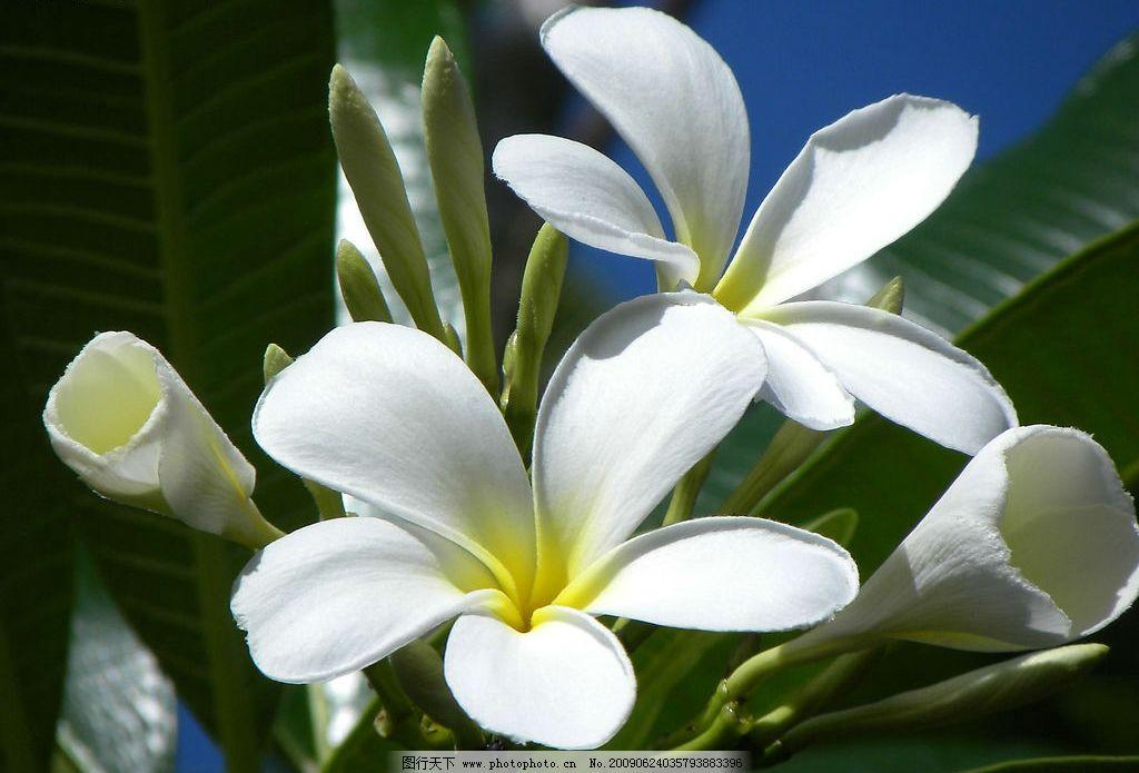 花朵 鸡蛋花 漂亮的花朵 白色花朵 花朵特写 阳光下的花朵 自然风景