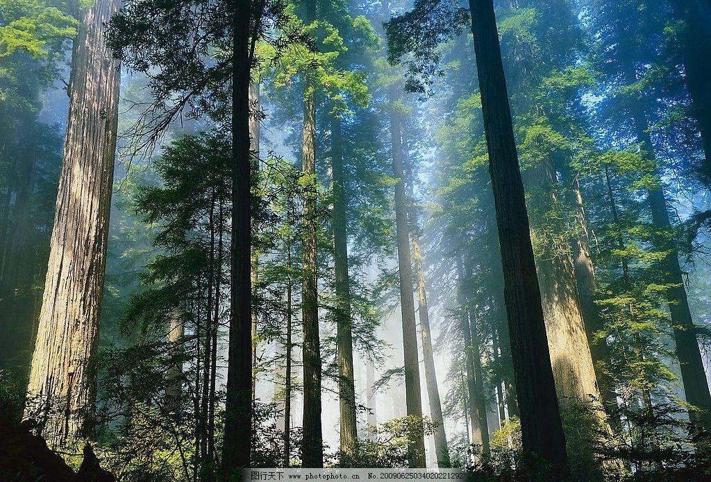 北加州海岸红杉 杉树 森林 雾气 国外旅游 摄影图库