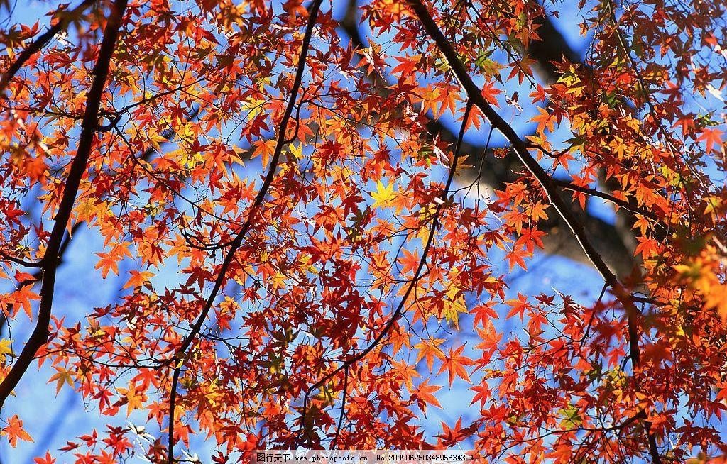 枫树 枫叶 秋 季节 自然 清新空气 植物 树木 树林 自然景观 自然风景