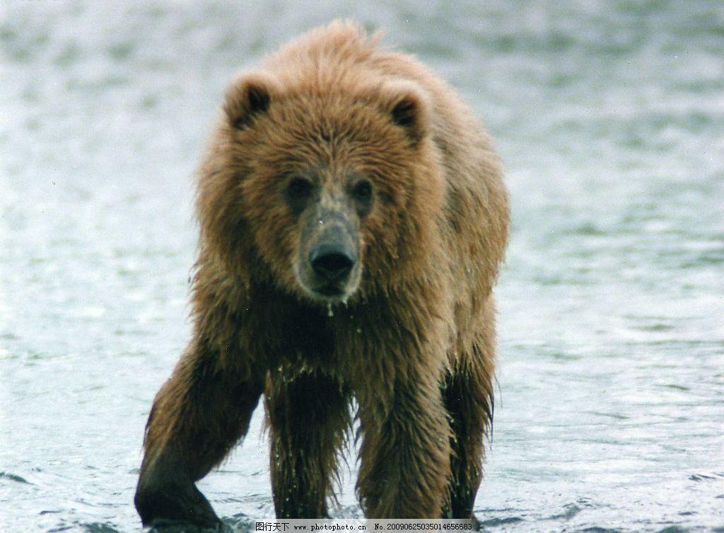 狗熊 生物世界 野生动物 摄影图库