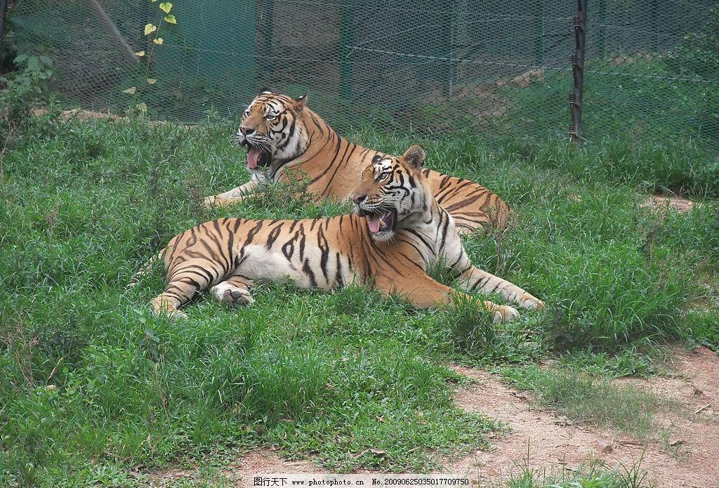 东北虎 生物世界 野生动物