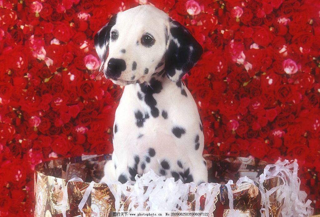 斑点狗 动物世界 宠物 可爱 小狗 犬 狗 生物世界 家禽家畜 摄影图库
