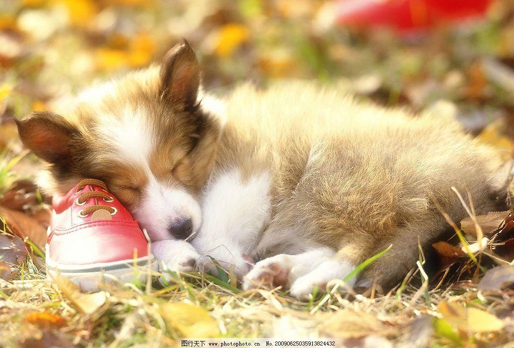 小狗睡觉 动物世界 睡觉 宠物 可爱 小狗 犬 狗 生物世界 家禽家畜