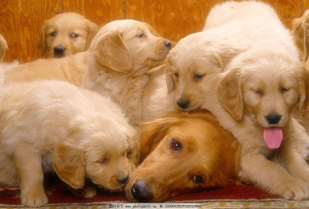 可爱小狗 动物世界 宠物 可爱 小狗 犬 狗 生物世界 家禽家畜 摄影