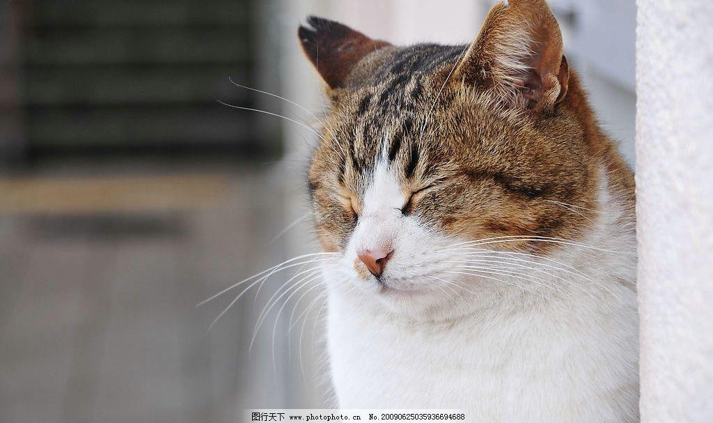 小猫 花猫 可爱 猫的特写 闭目养神 摄影图库