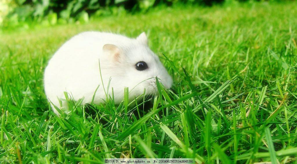 白老鼠图片