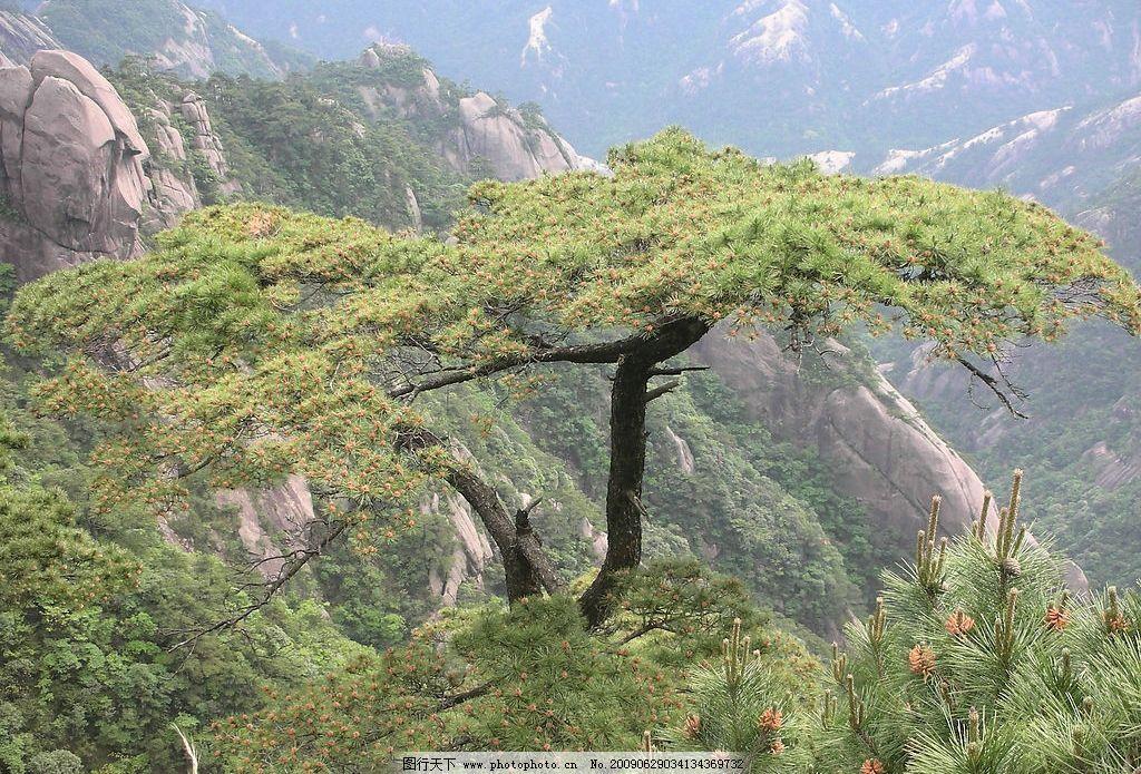 自然风景高山 大松树 石山图片