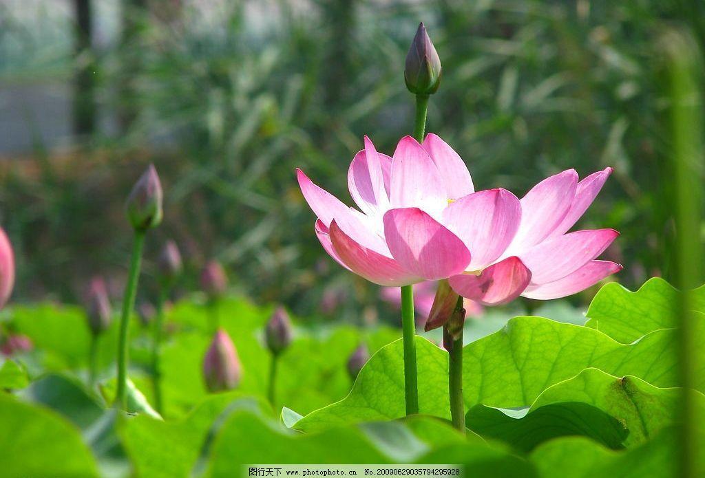 荷花 池塘 荷叶 树林 自然景观 自然风景 摄影图库 180dpi jpg